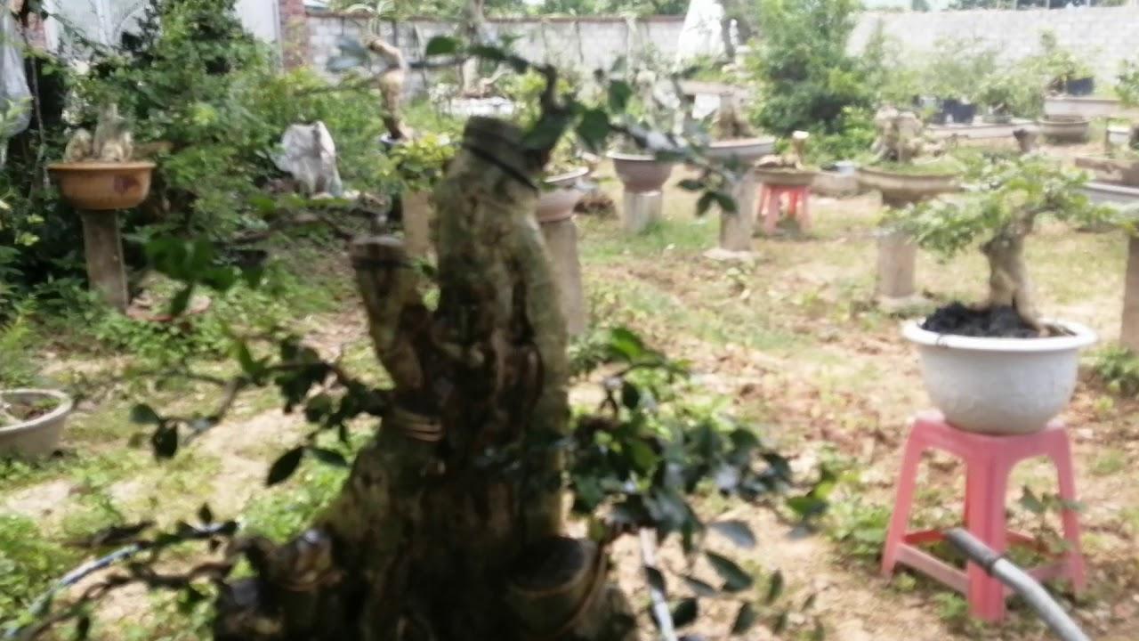 Lên chậu cây duối, sau một năm dâm ủ. Và định hướng cho một cây cảnh nghệ thuật.