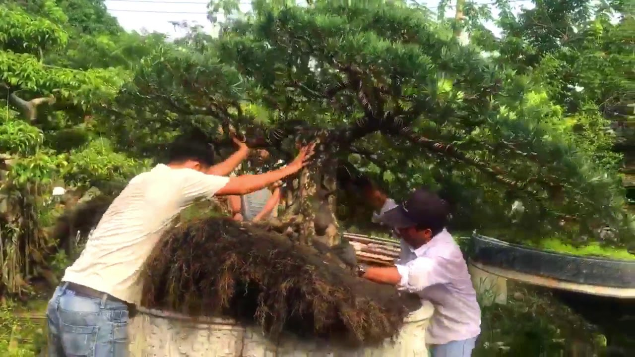Lên chậu cho cụ Tùng Bonsai vườn kiểng anh Chánh (Hoóc Môn)