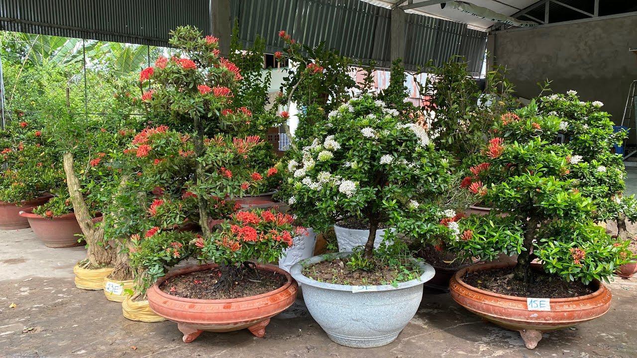 Lô Bông Trang bonsai đẹp và Linh Sam GLTQ ngày 18/5   Thanh Triệu