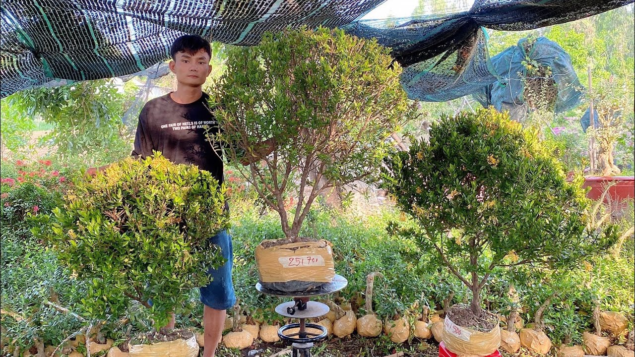 Lô Bông Trang vàng lá nhỏ giá sinh viên về ngày 15/5 ? 03655_64555 Trần Linh