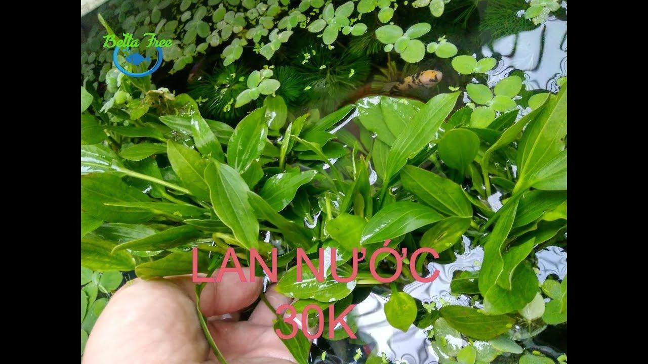 LAN NƯỚC - cây lan muỗng ( lưỡi mác ) 30k 1 bụi