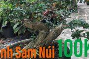 Linh Sam Nui 100K | Linh Sam Lá Nhỏ | Cây Cảnh TV
