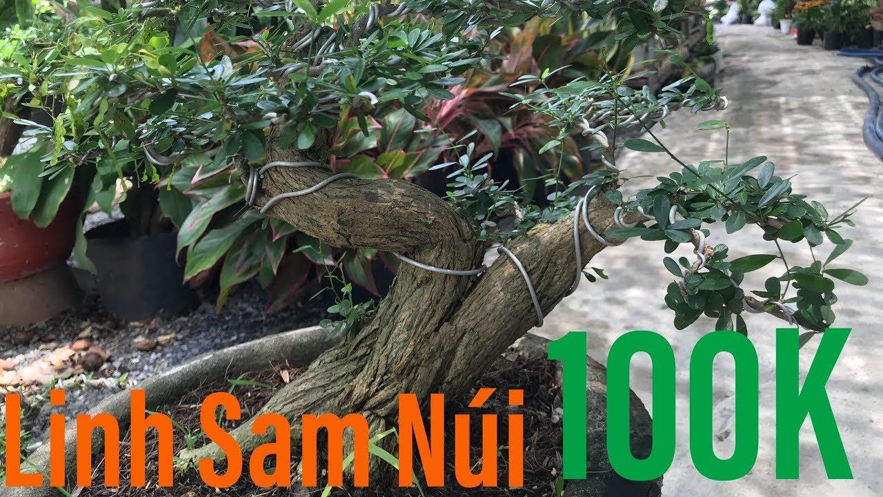 Linh Sam Nui 100K   Linh Sam Lá Nhỏ   Cây Cảnh TV