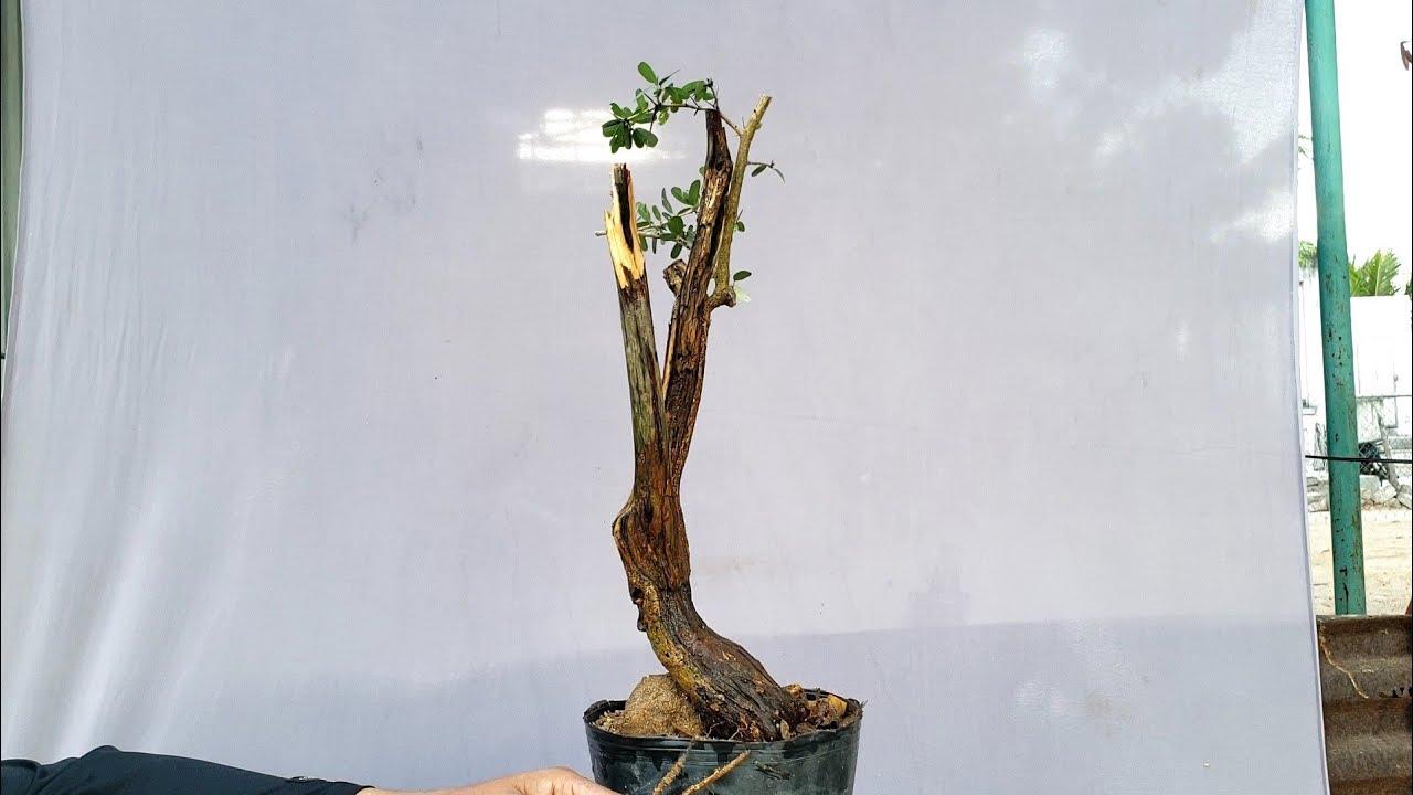 Linh sam lắc nghệ thuật(đã bán) ms 697 lh 0795050333#bonsai#caycanh