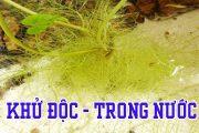 Loại Rễ thủy sinh tốt hơn cả Củ Khoai Lang, có khả năng khử độc làm trong nước hồ cá 7 màu