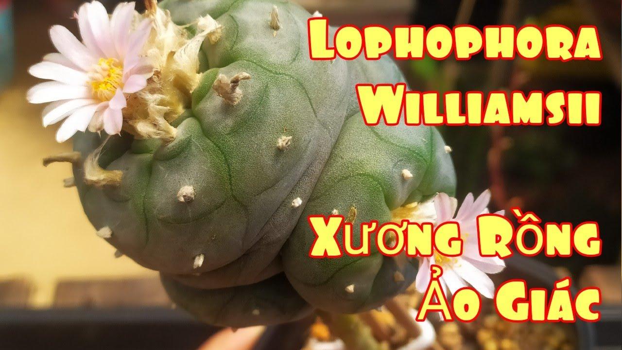 Lophophora Williamsii - Nhận biết xương rồng GÂY ẢO GIÁC