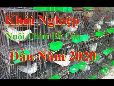 Mô Hình Nuôi Chim Bồ Câu Pháp Đầu Năm 2020 | Bồ Câu Pháp