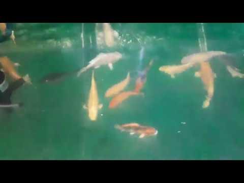 Mô hình nuôi cá chép cá koi trong thùng phi sắc, nuôi cá phong thủy