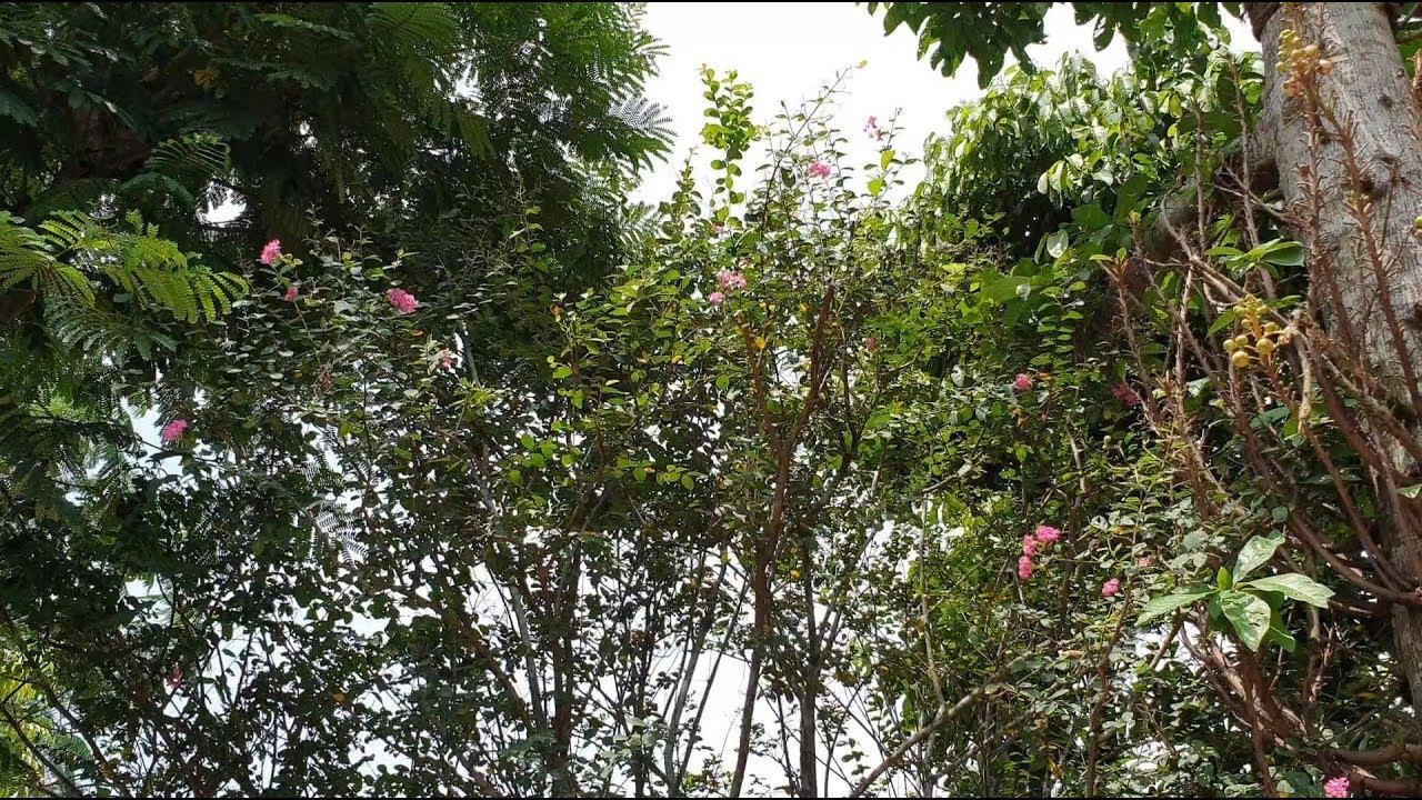Mẫu Sân Vườn Sẽ Đẹp Hơn Khi Trong Vườn Có Cây Tường Vi Loại Cây Tượng Trưng Cho Tình Yêu