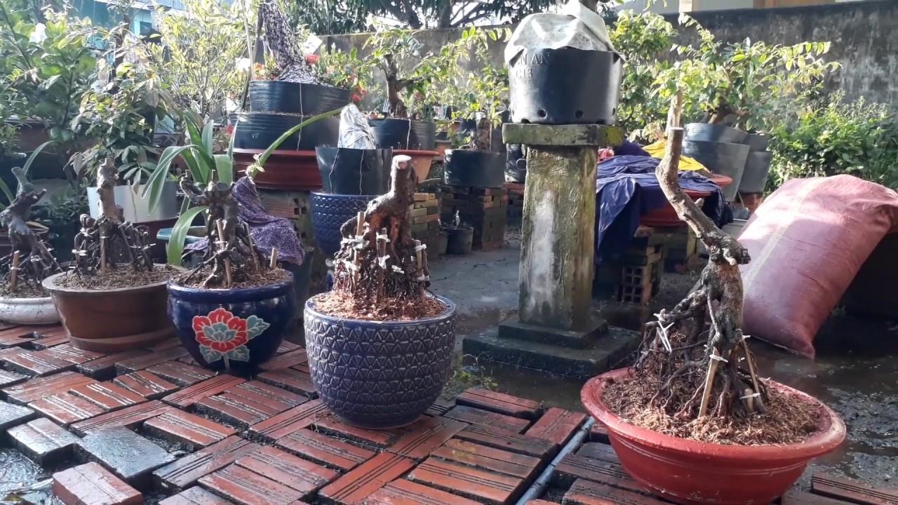 Mai vàng bonsai - mang nghệ thuật đến mọi nhà