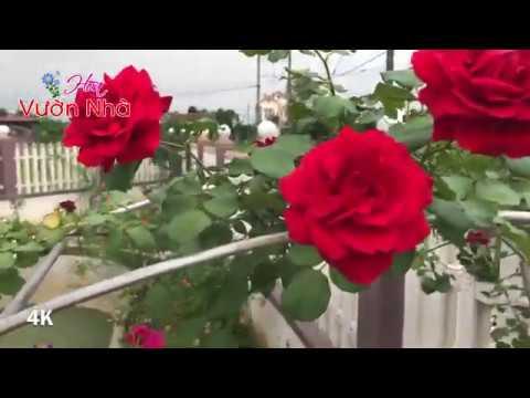 Nếu muốn trồng hoa hồng leo thì hãy trồng cổ Hải Phòng nhé bạn