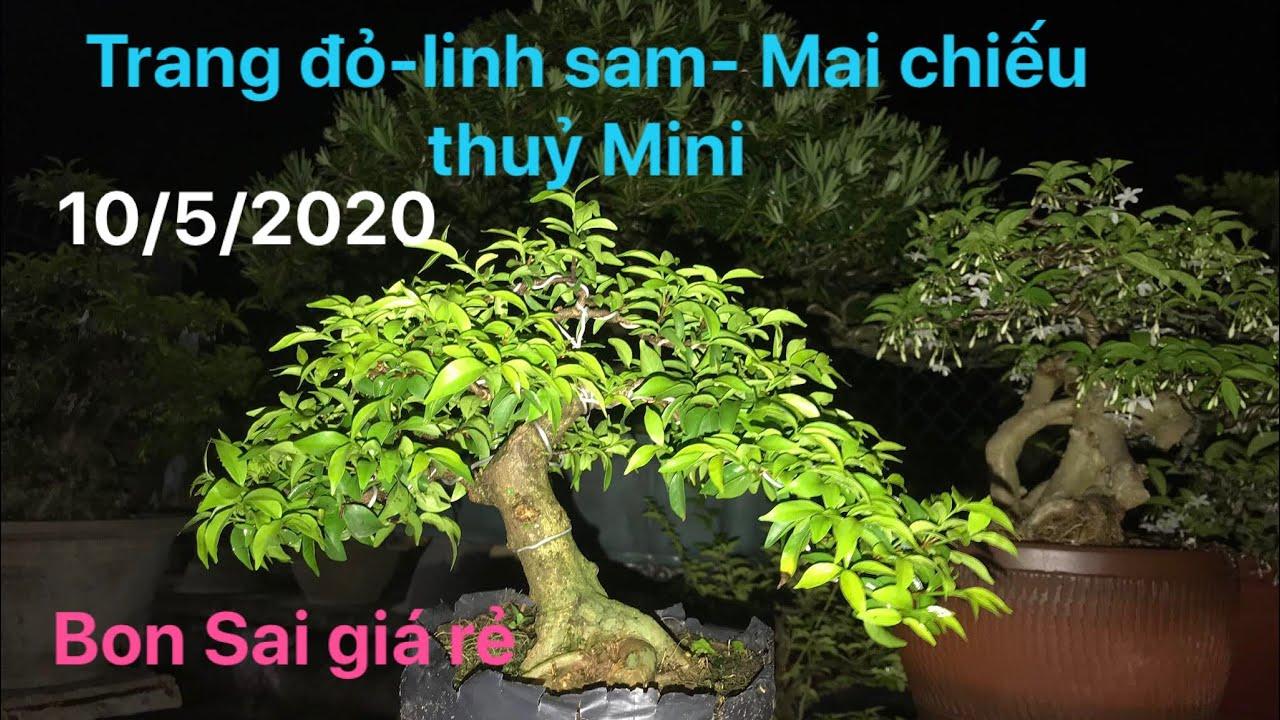 Ngày 10/5/2020- trang đỏ- linh sam- mai chiếu thuỷ mini- tuấn 0783454767