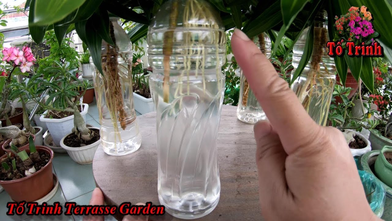 Ngâm Cành Cây Phát Tài Thái Trong Chai Nhựa 3 Tháng Sau Trồng Vào Chậu / Dracaena Reflexa
