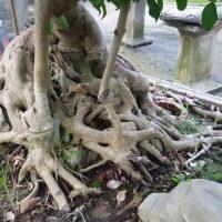 Ngắm cây sanh đẹp và ý nghĩa phong thủy khi trồng cây sanh