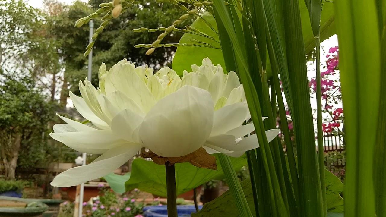 Ngắm hoa sen quan âm trắng trồng trong chậu cây cảnh và lúa