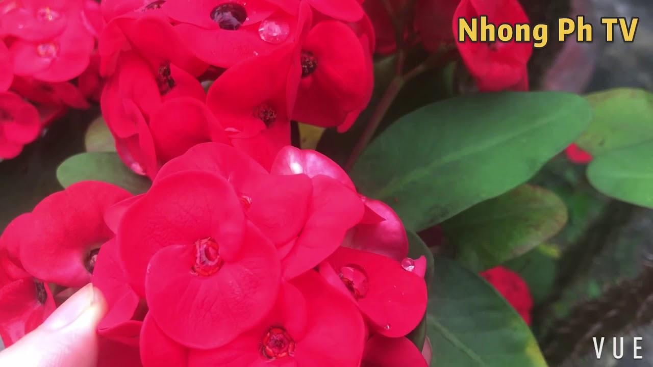 Ngắm nhìn cây Xương Rồng Bát Tiên Hoa Đỏ cực đẹp