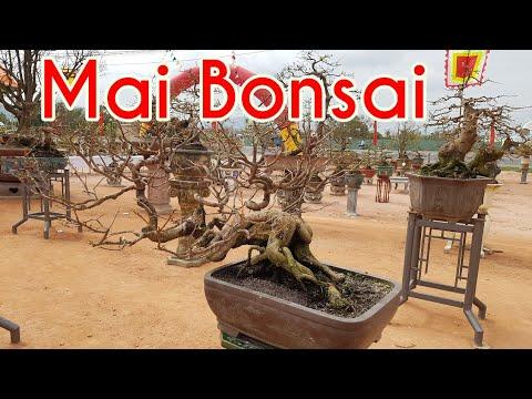Nghệ thuật mai bonsai nằm ở đây hết rồi