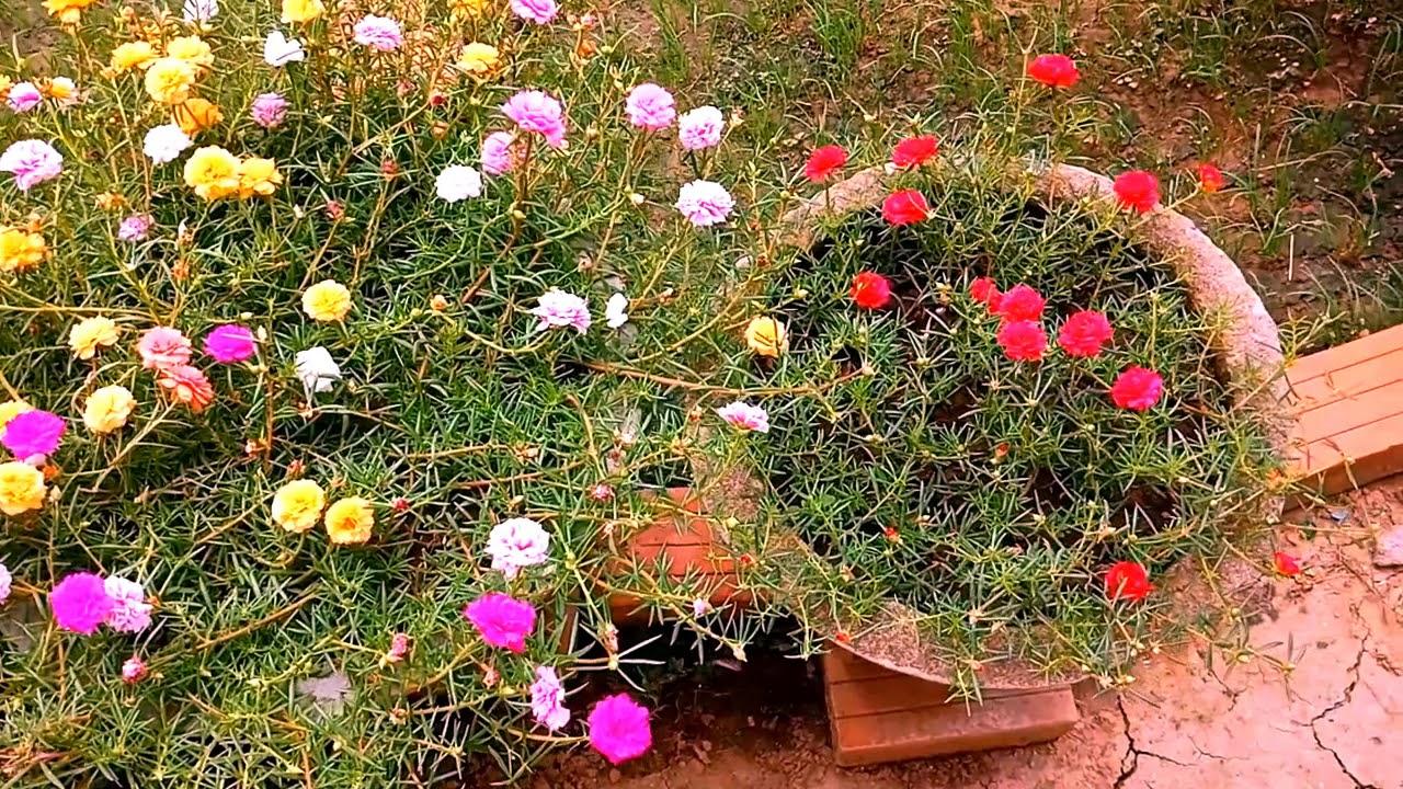 Những Chậu Hoa Mười Giờ Đẹp Xuất Sắc Vào Mùa Hè - Portulaca grandiflora   Thế Giới Cây Xanh