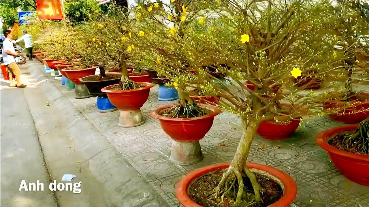 Những cây mai đẹp bày bán ở TPHCM