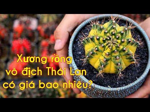 Những cây xương rồng vô địch Thái Lan có giá bao nhiêu?
