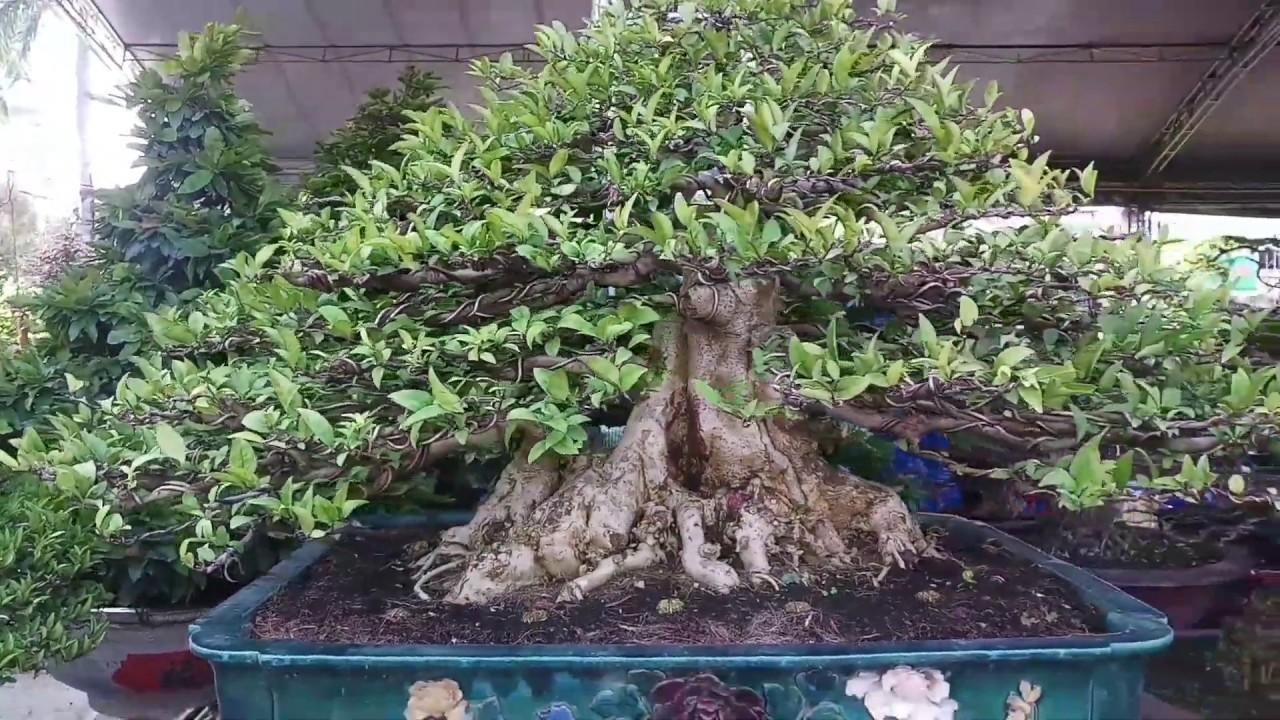 Những tác phẩm bonsai nghệ thuật đặc sắc đắc tiền nhất khu thương mại suối tiên 2019