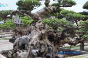 [No.17] Xem 1001 Tác Phẩm Cây Cảnh, Bonsai Đẹp Nhất Việt Nam - Đáng Xem Để Thưởng Thức và Học Hỏi
