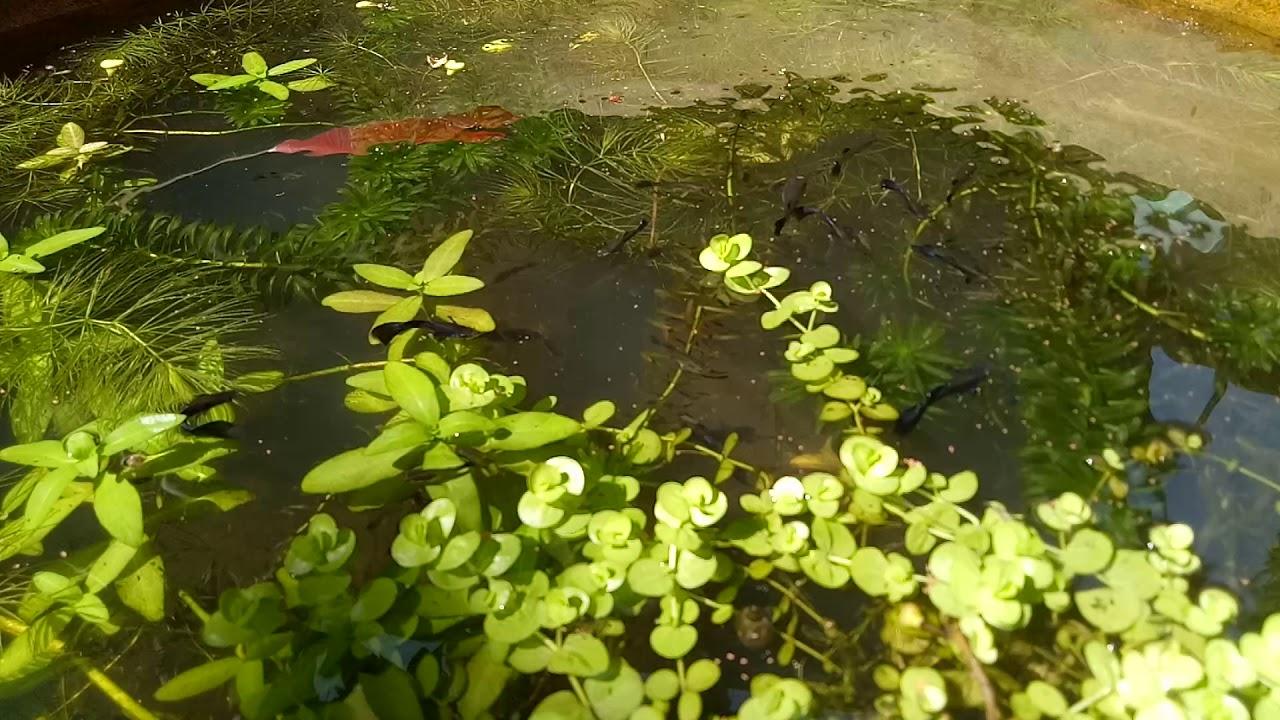 Nuôi cá bảy màu trong chậu trồng cây thuỷ sinh