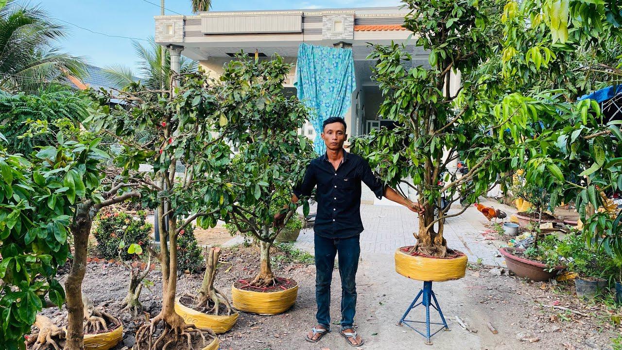 PHÔI MAI VÀNG CẦN THƠ ngày 22/5/2020 ?0939 198 843 NHƠN ? bonsai can tho
