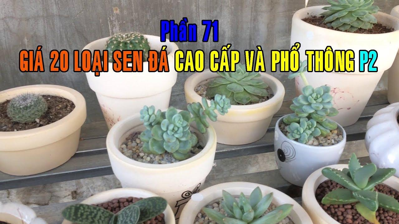 Phần 71: Sen Đá Giá Bao Nhiêu/Giá 20 Loại Sen Đá Phổ Thông Và Cao Cấp