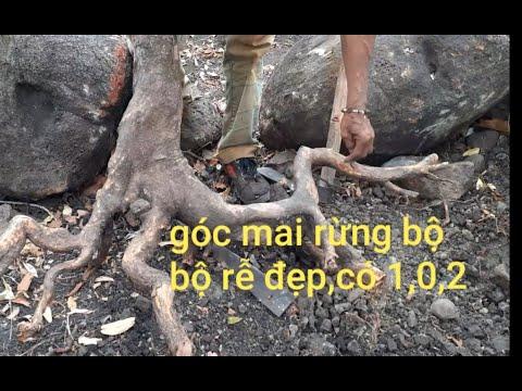 Săn mai rừng phần (3) tìm được cây mai rừng có bộ rễ siêu đẹp/ levan ThongTV