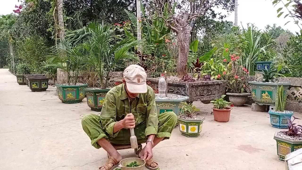 Sử dụng cây xương rồng bá vương tiêm chữa bệnh đau thắt lưng tuổi già   Nông Thôn Vlogs