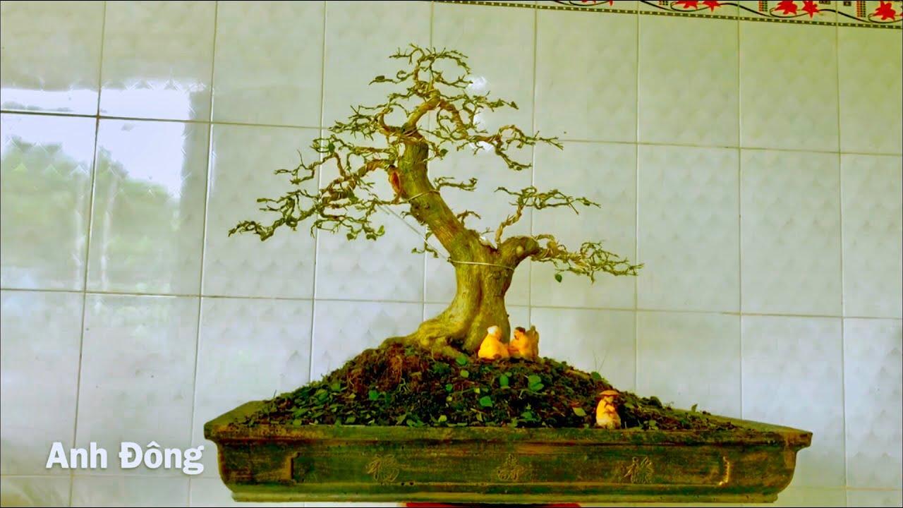 Sửa lại cây nguyệt quế bonsai trực lắc