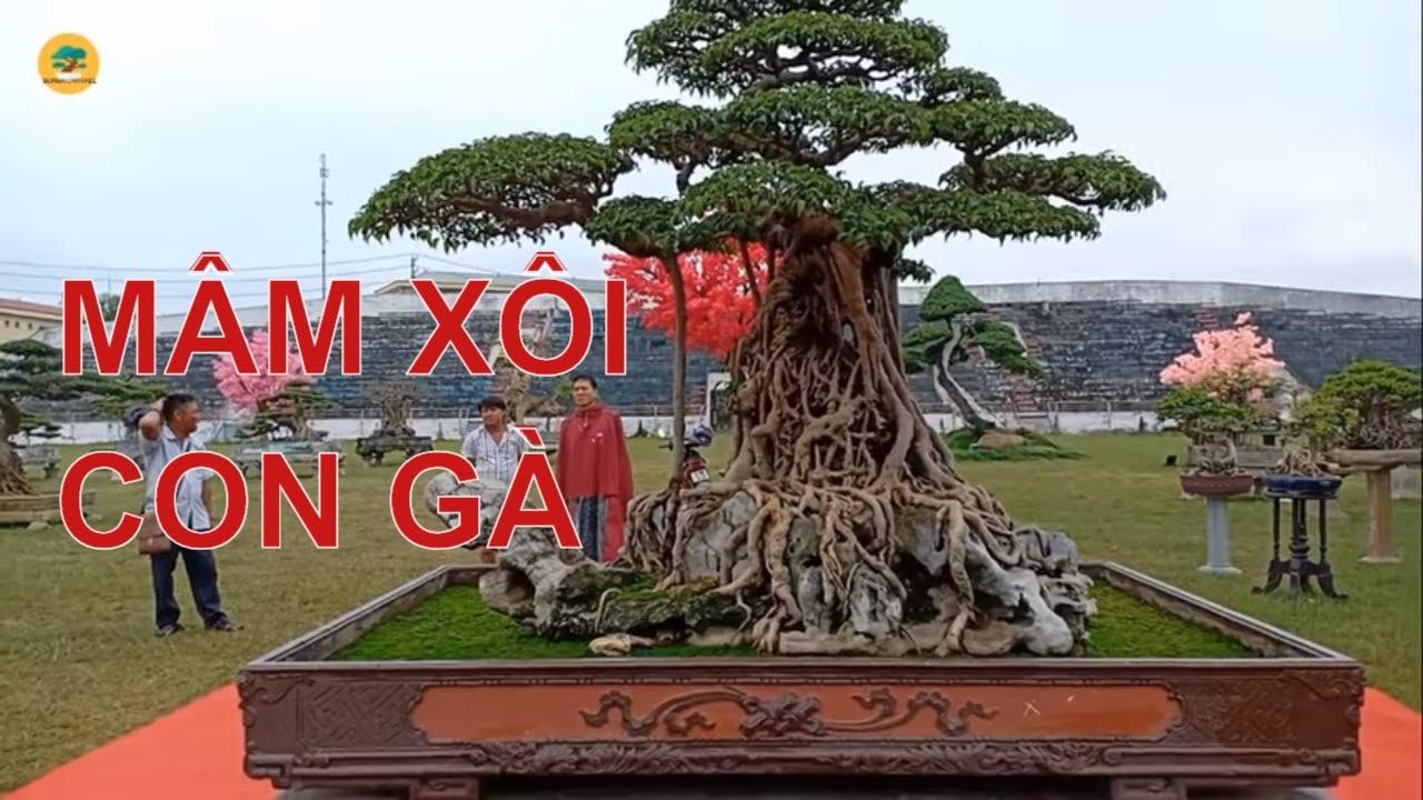 """Sự thật siêu cây cảnh Việt Nam """"MÂM XÔI CON GÀ"""" có giá trăm  Tỷ ở Hà Nội"""