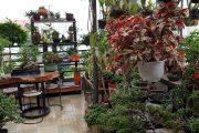 SH.2561.Thăm vườn cảnh đặc biệt trên sân thượng Tâm Phúc. Quận Tân Bình. Tp Hồ Chí Minh