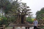 SH.2685.Bonsai nghệ thuật Sanh dáng làng đẹp của Nguyễn Giang.Nam Định