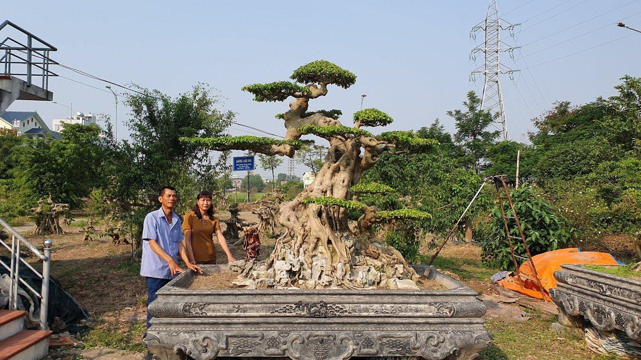 SH.3273.Cây Sanh dáng Lão 2,5 tỷ vườn Hùng Chậu. Tp Nam Định