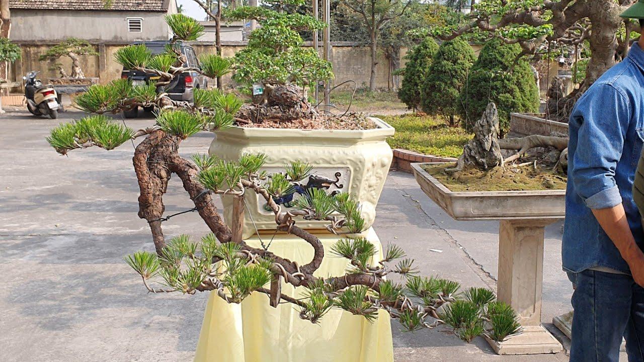SH.3446.Cặp Thông dáng huyền ôm chậu đẹp ở Hồng Thái Đông. Đông Triều. Quảng Ninh.