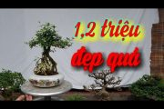 SH.3809. Báo giá 1,2 triệu cây Mai Hồng Ngọc để bàn cực đẹp.