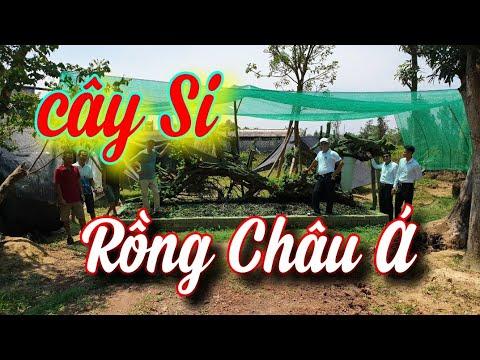 SH.3828. Siêu cây Si như Rồng Châu Á đã xuất hiện tại Triệu Sơn Thanh Hóa.