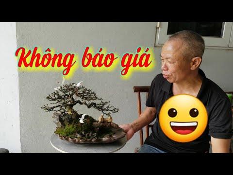 SH.3830. Cây Linh Sam 86 đẹp vậy mà gạ mãi anh Nguyễn Huynh không báo giá.