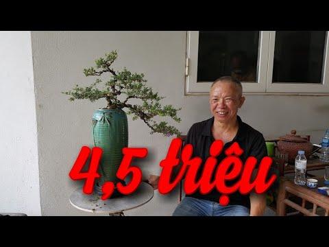 SH.3836. Báo giá 4,5 triệu cây Linh Sam vườn Nguyễn Huynh Văn Giang Hưng Yên