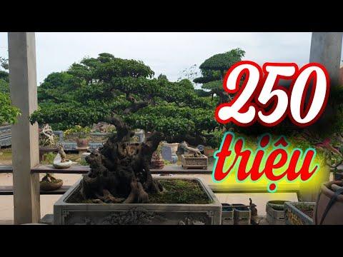 SH.3853. Thăm Siêu thị Bonsai Châu Giang.xóm 2 Nam Toàn Nam Trực Nam Định.