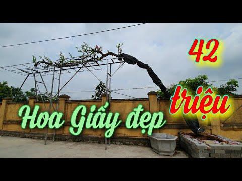 SH.3858. Cây Hoa Giấy đẹp giá 42 triệu vườn Huy Bonsai.Bình Lục Hà Nam.