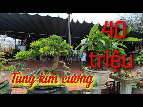 SH.3878. Cây Tùng Kim Cương đẹp báo giá 40 triệu tại nhà hàng Chiến Tình.Kiến An Hải Phòng.