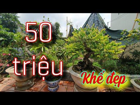 SH.3887. Cây Khế đẹp 50 triệu đồng vườn ông Đào văn Sự. Ninh Giang Hải Dương.