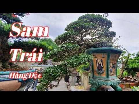 Sam Trái Hàng Độc Tác Phẩm Nghệ Thuật Bonsai #106 Sam left a unique line of bonsai artwork.