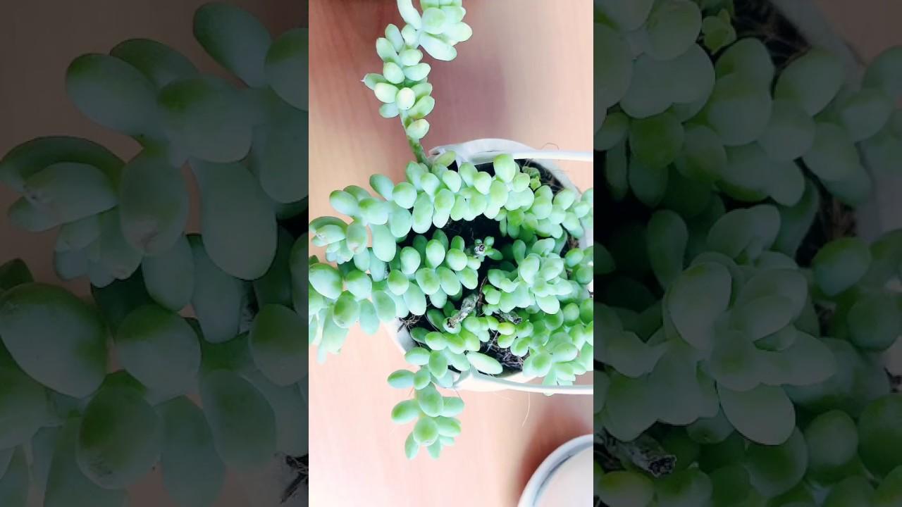 Sen Đá Chuỗi Ngọc Bi Đà Lạt _ #ダラットの花