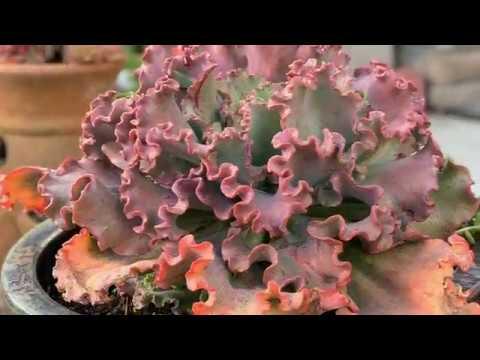 Sen Đá Trước Vườn Nhà Ngoại ̣(Succulents)