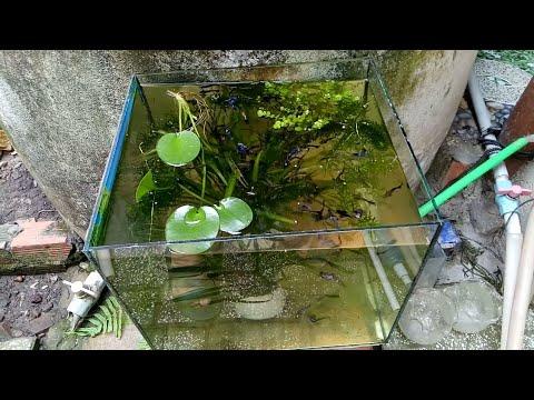 Set up hồ kiếng nhỏ nuôi cá bảy màu trồng cây thủy sinh đơn giản