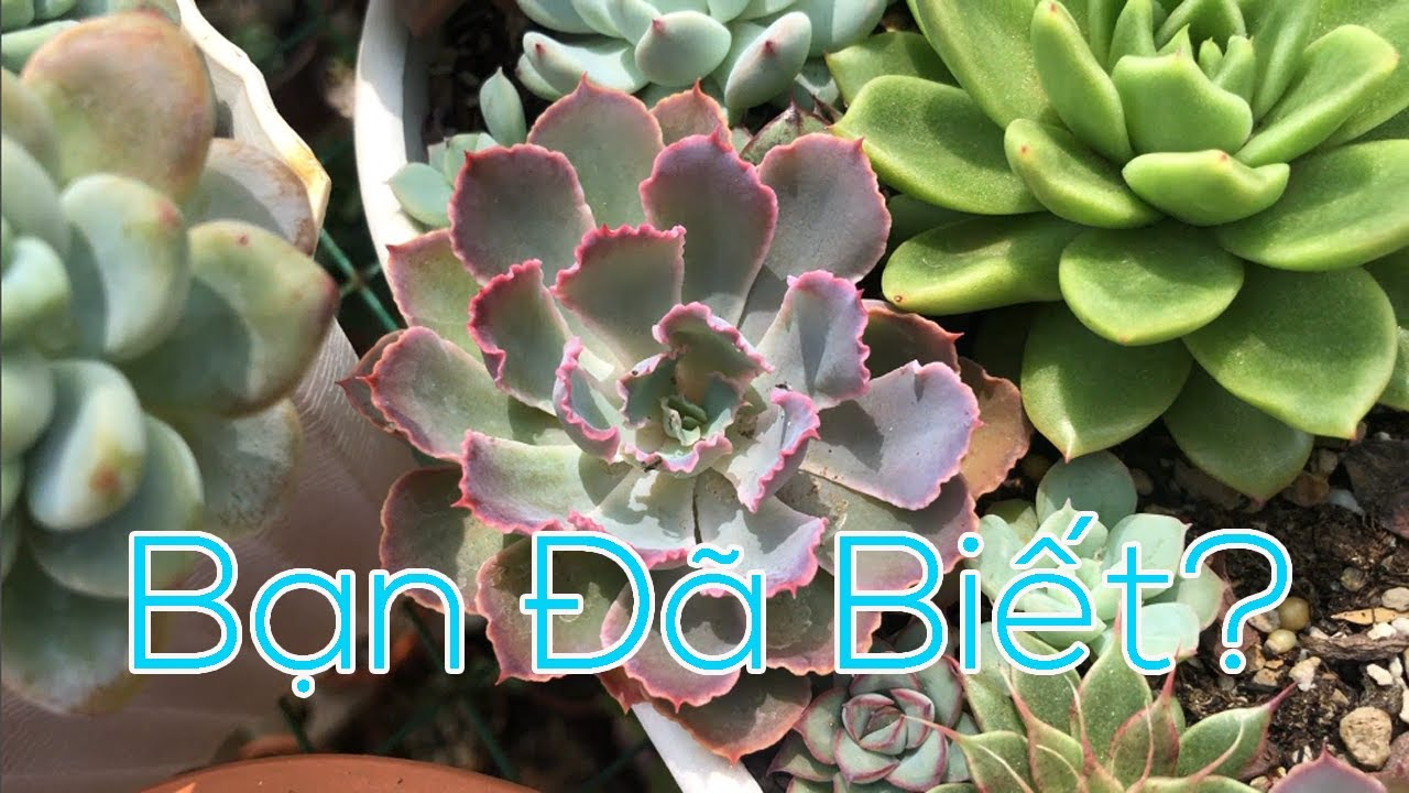 Succulent Gia Nghia | Tên các loại sen đá phần 2